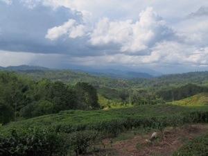 Sabah Tea Garden.jpg